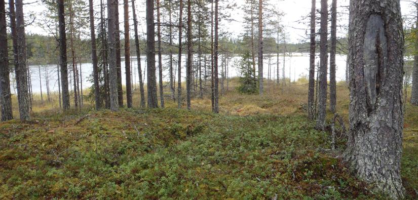 Yksinäinen hauta erottuu kuoppana erämaajärven rannalla Taivalkoskella. Hauta on merkitty puuhun tehdyllä pilkalla. Kuva: Hanna Kelola-Mäkeläinen/Metsähallitus