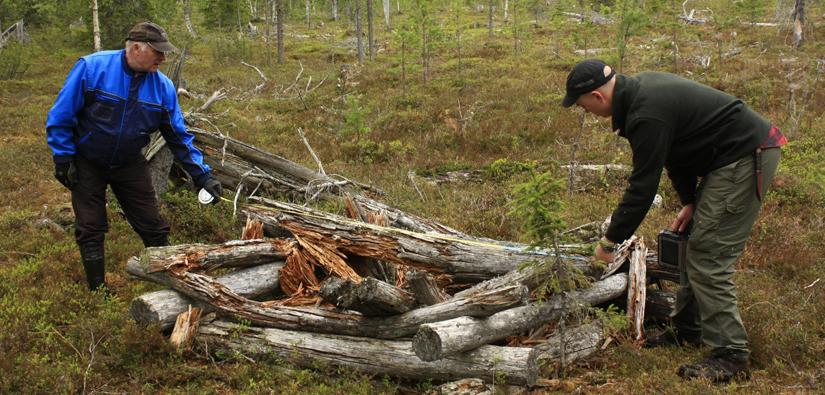 Suunnittelumetsuri Erkki Heikkilä ja harjoittelija Verne Tervaharju mittaavat metsään jäänyttä parkattujen puiden kasaa. Puut ovat perimätiedon mukaan jääneet metsään sotien aikaan miesten jouduttua rintamalle. Kuva: Piritta Häkälä/Metsähallitus.
