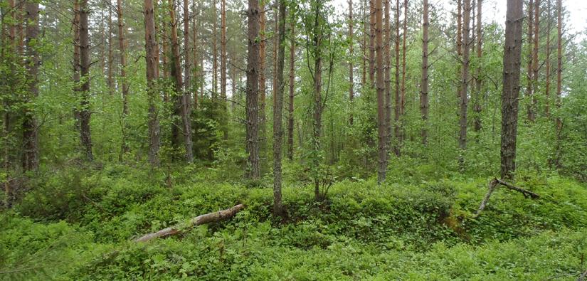 Yksi Kainuun metsien tuhansista tervahaudoista. Kuva: Hanna Kelola-Mäkeläinen/Metsähallitus.