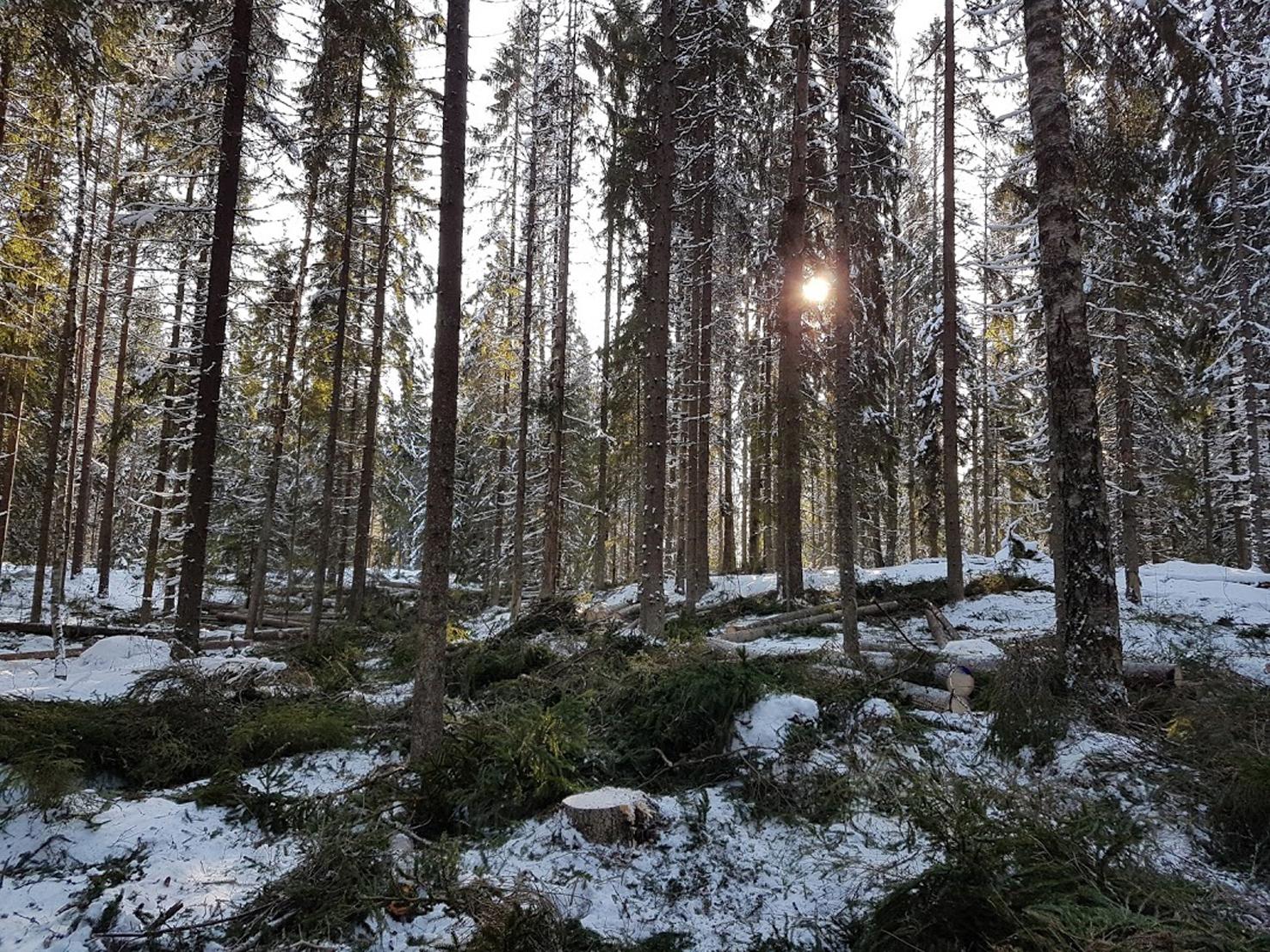 Väljennyshakattua geenireservimetsää Lapinjärven Latokartanossa (kuva: Keijo Kallunki)