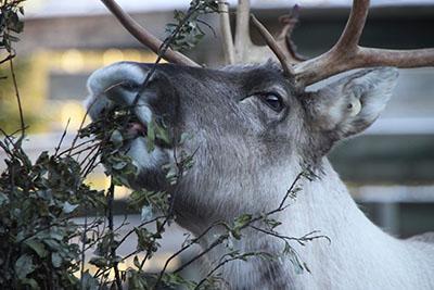 Metsäpeura herkuttelee. Kuva: Milla Niemi, Metsähallitus.