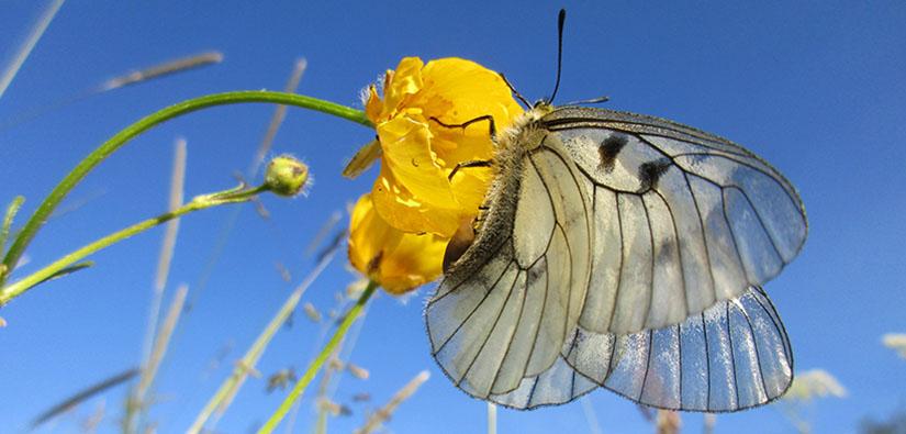 Kookas valkoinen perhonen keltaisella kukalla.