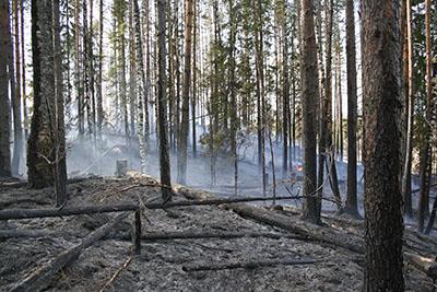 Luontaista metsäpaloa jäljittelevä poltto auttaa paahteisia ympäristöjä tarvitsevia lajeja Ilomantsissa. Kuva: Maarit Similä.