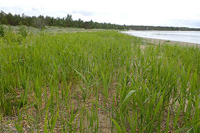 Paahde-LIFE-hankkeessa poistetaan laajaa ruovikkoa Uudenkaarlepyyn Strosandin rantahietikolta.Kuva: Lena Wargén / Metsähallitus.
