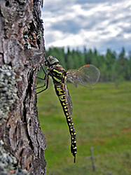 Sudenkorento puun rungolla. Taustalla näkyy avoin suo ja metsää.