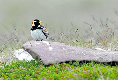 Lapinsirkku on pohjoisen Lapin lintu. Sen mahdollisuudet levittäytyä enää pohjoisemmaksi ovat hyvin rajalliset, ja suojelualueet ovat turva lajin säilymiselle. Kuva Petteri Lehikoinen