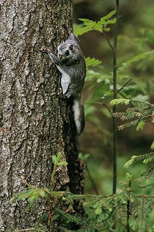 Liito-orava kiipeää puunrunkoa ylöspäin.