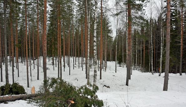 Vapaan kelkkailun maastoa Tonttumäen alueelta keuruulta. Kuva: Keijo Kallunki