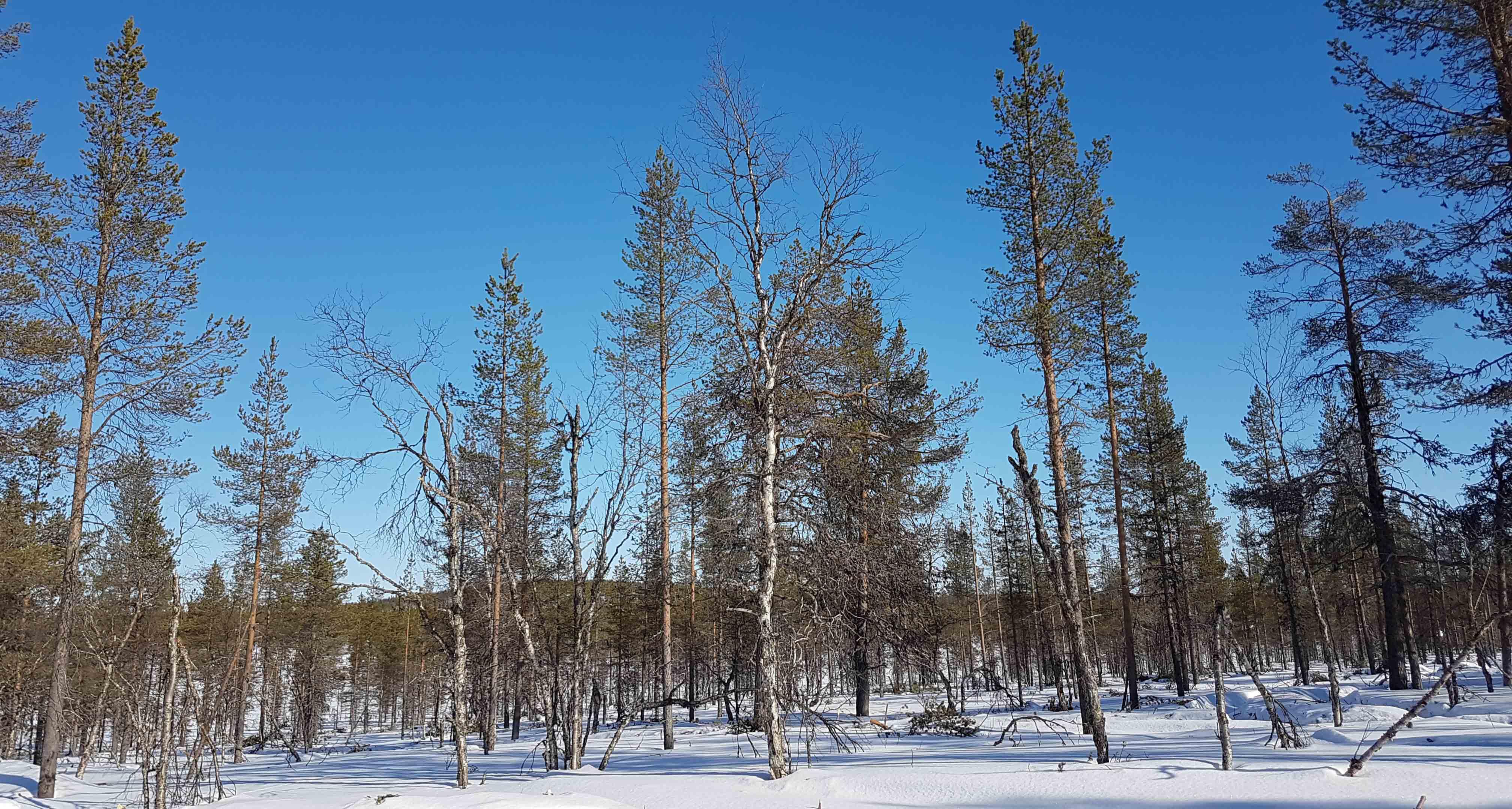 Kuva: Harrilehdon leimikko korjuun jälkeen. Lehtipuu ja kuollut puu säästetty. Kaikki puunkorjuu on tehty poimintahakkuuna.