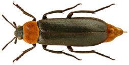 Musta-ruskea kovakuoriainen.