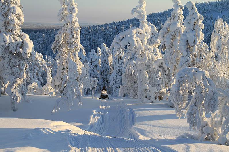 Kelkkaura tykkymetsässä. Kuva: Pekka Hänninen / Metsähallitus
