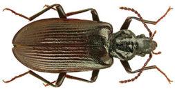 Musta kovakuoriainen.