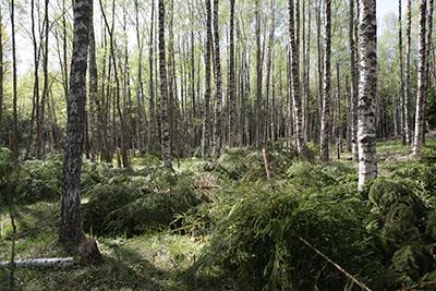 Loviisan Hudön entisen kalastajatilan umpeenkasvanutta peltoa raivattiin laitumeksi. Kuva: Päivi Leikas, Metsähallitus.