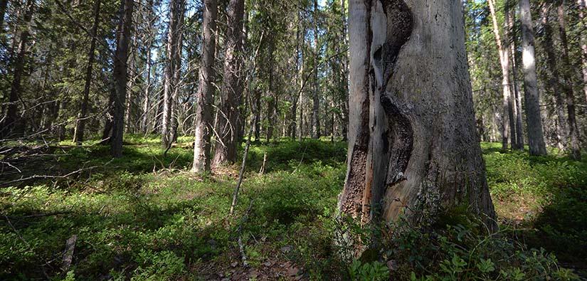 Etualan keloutuneessa puussa näkyy metsäpalon jälki. Taustalla kuusimetsää.