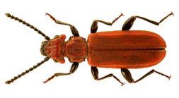 Oranssinpunainen kovakuoriainen.