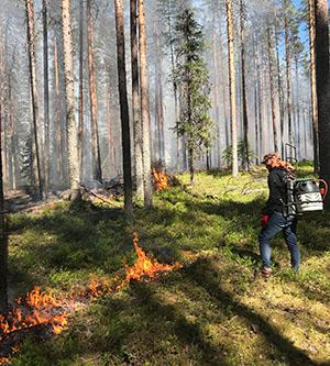 Maastoa sytytetään palamaan kaasupolttimella. Varvikko on syttynyt palamaan.
