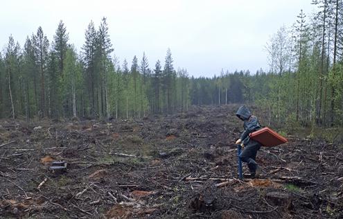Kesätyöntekijä istuttaa puuntaimia valtion maalla (Kuva: Marjaana Ahokumpu)
