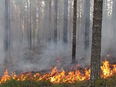 Metsää ennallistetaan polttamalla luonnon avuksi. Kuva: Maarit Similä, Metsähallitus.