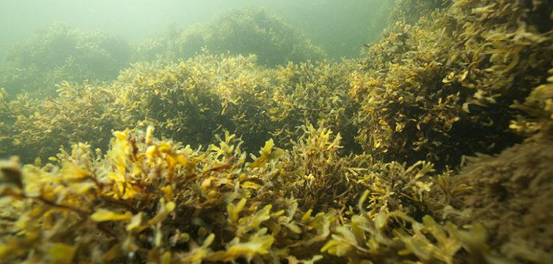 Litteitä, lehden kaltaisia leviä kasvaa kirkkaan veden pinnan alla.