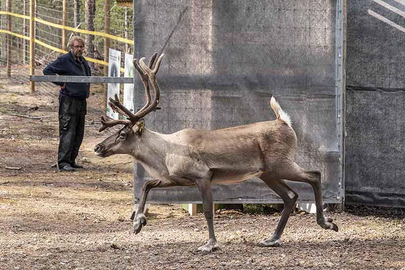 Metsäpeura vapautetaan Lauhanvuoren totutustarhasta. Kuva: Tiina Mäkelä