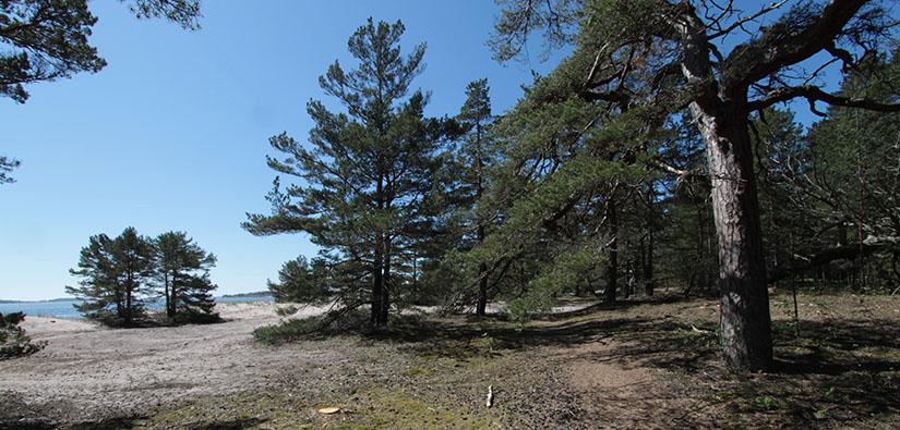 Mäntyjä ja hiekkarantaa meren rannassa.