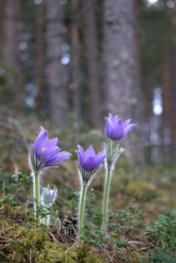 Kylmänkukalla on suuret violetit kukat ja karvaiset varret.