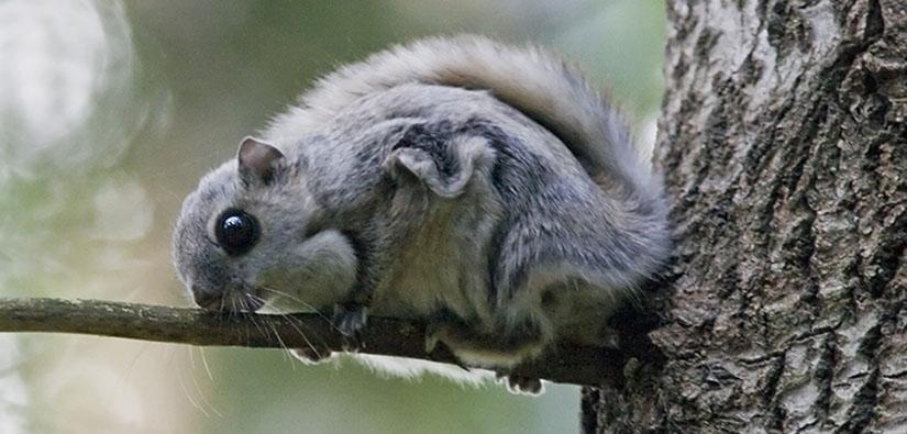 Lähikuva suurisilmäisestä liito-oravasta.