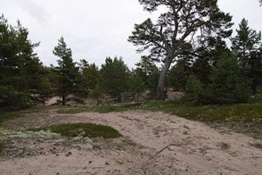 Vanhan männyn ympärillä on useita pienempiä mäntyjä.