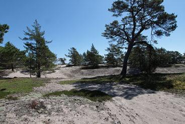 Vanhan männyn ympärillä on tilaa, sillä ympäriltä on poisettu useita puita.