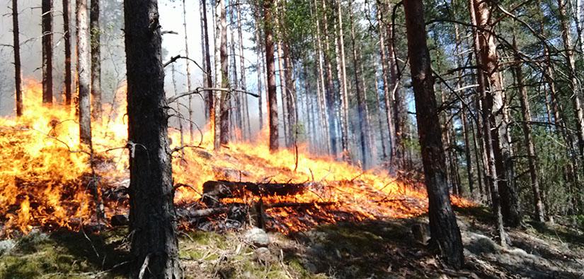 Rinnemetsä palaa. Kenttäkerros on hyvässä tulessa ja liekit nuolevat puiden alaosia.