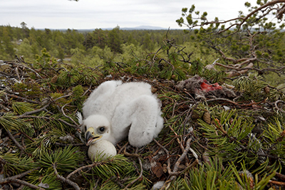 Maakotkan poikanen pesässä. Kuva: Juha Haikola.