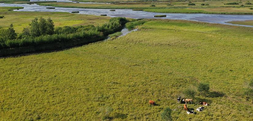 Laaja joenrantaniitty, jossa lepäilee ryhmänä seitsemän lehmää.