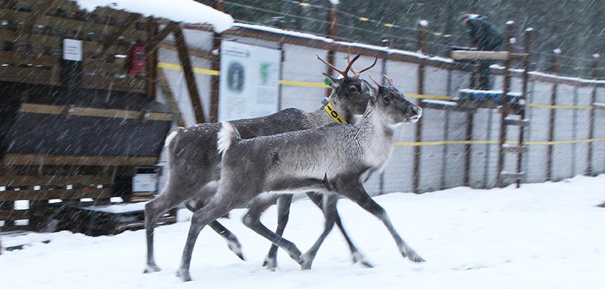 Ensimmäiset Seitsemisen kansallispuistoon vapautetut metsäpeurat 2019. Kuva: Milla Niemi, Metsähallitus.