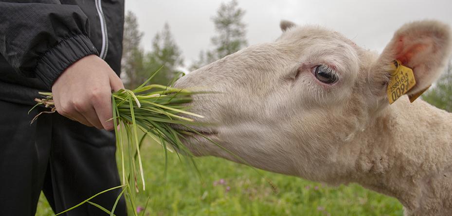 Lammas syö heinää kädestä. Kuva: Sirke Seppänen.