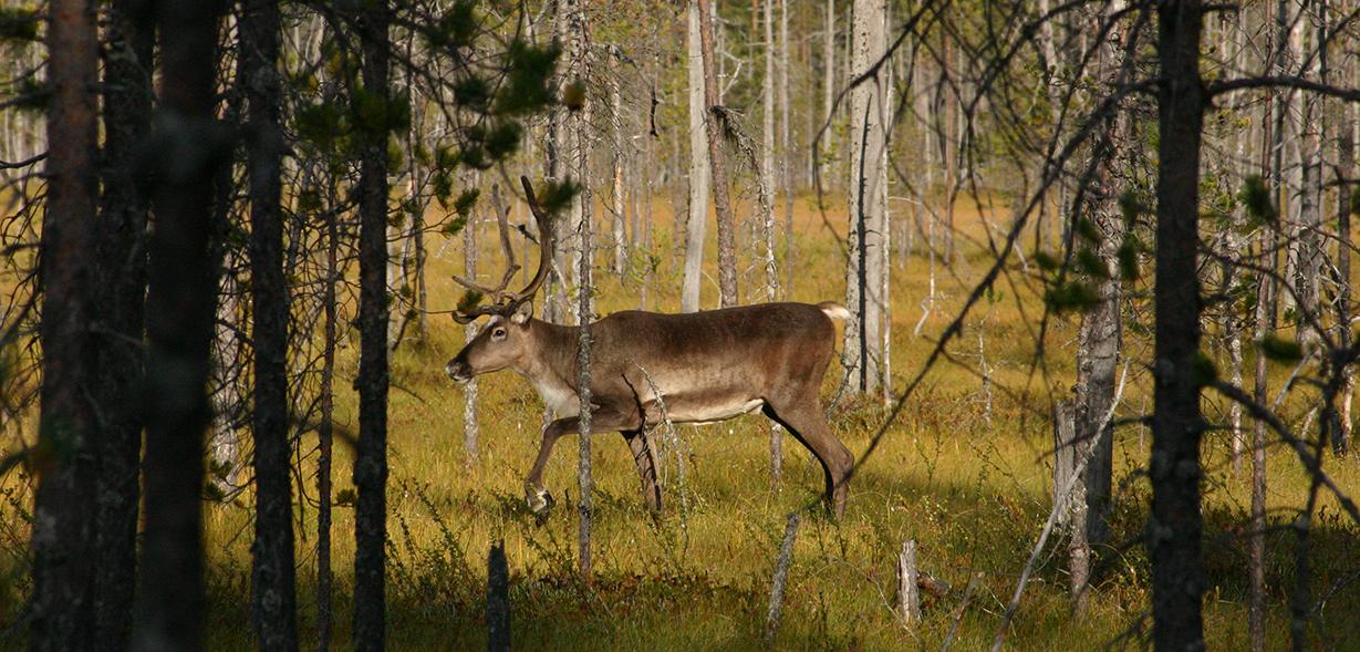 Metsäpeura kuhmolaismaisemassa. Kuva Ari Meriruoko, Metsähallitus.