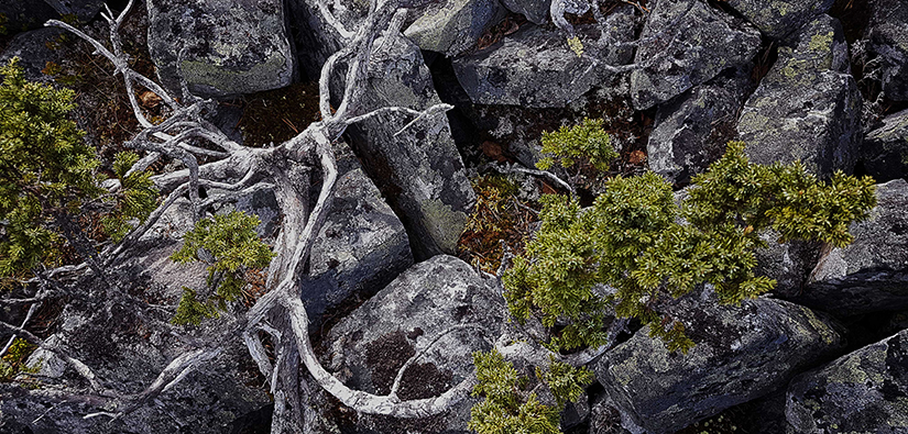 Arctic juniper (Juniperus communis ssp. nana) and rocks.