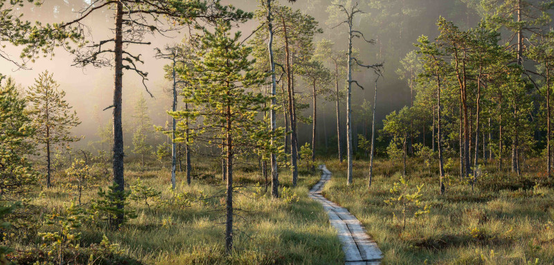 Duckboards lead through a misty peatland forest.