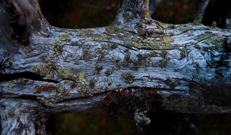 En gammal kullfallen trädstam med vackert mönster.