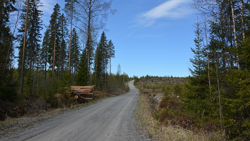 Keväinen metsätie. Tienvarressa pino tien reunoilla eri-ikäisiä puita.