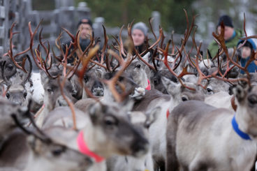 A herd of reindeer during the roundup, with people in the background.