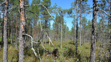 A sunny pine mire with flowering Labrador tea shrubs.