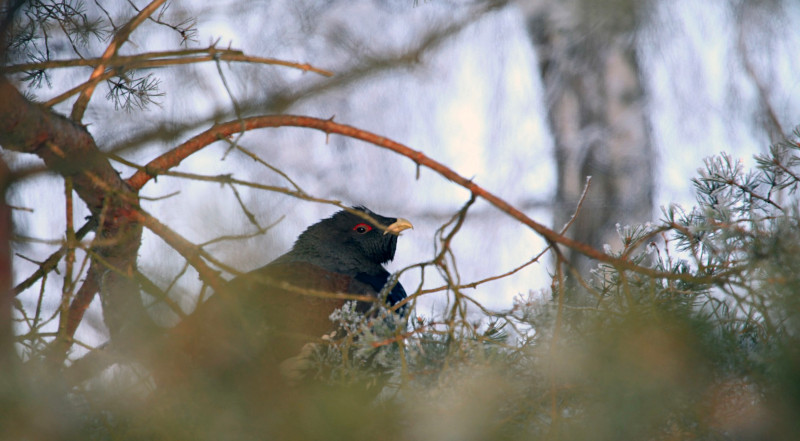 A capercaillie is sitting on a pine branch.