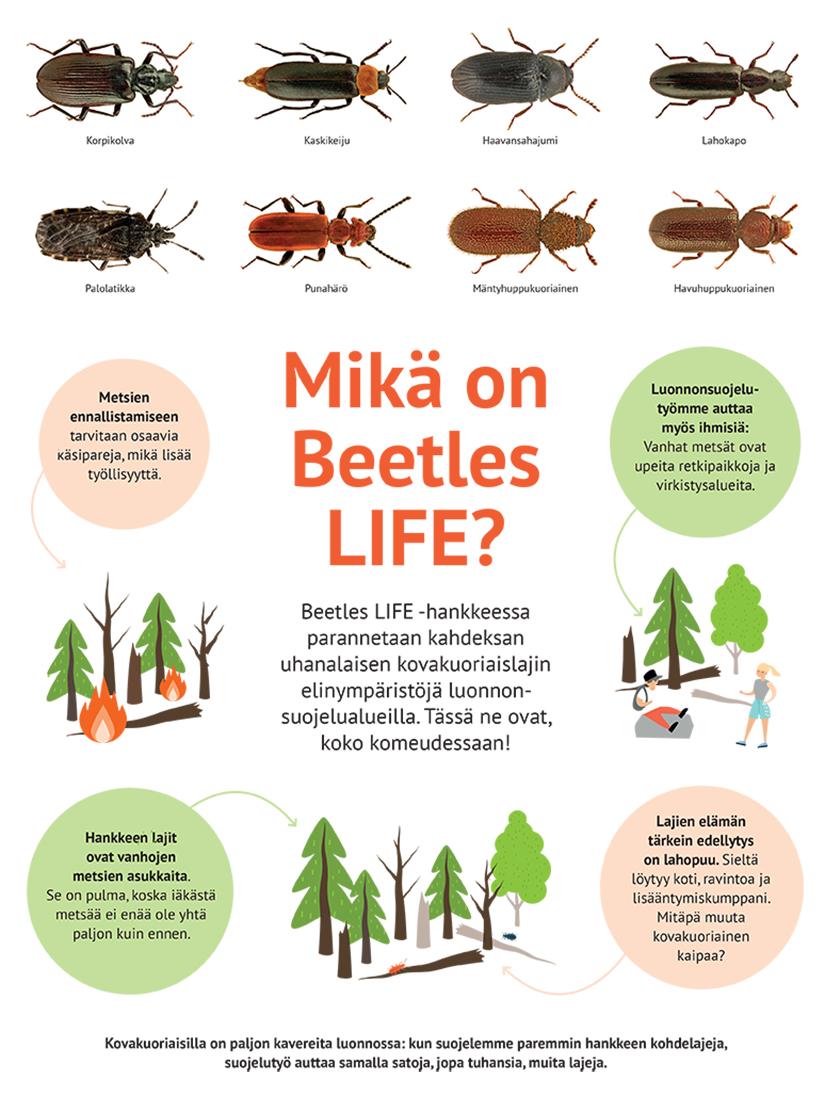 Kuvassa on 8 kovakuoriaisen kuvat sekä teksti: Mikä on Beetles Life? Beetles LIFE -hankkeessa parannetaan kahdeksen uhanalaisen kovakuoriaisen elinympäristöjä luonnonsuojelualueilla. Tässä ne ovat koko komeudessaan! Kovakuoriaisilla on paljon kavereita luonnossa: kun suojelemme paremmin hankkeen kohdelajeja, suojelutyö auttaa samalla satoja, jopa tuhansia, muita lajeja. Metsien ennallistamiseen tarvitaan osaavia käsipareja, mikä lisää työllisyyttä. Luonnonsuojelutyömme auttaa myös ihmisiä: vanhat metsät ovat upeita retkipaikkoja ja virkistysalueita. Hankkeen lajit ovat vanhojen metsien asukkaita. Se on pulma, koska iäkästä metsää ei enää ole yhtä paljon kuin ennen. Lajien elämän tärkein edellytys on lahopuu. sieltä löytyy koti, ravintoa ja lisääntymiskumppani. Mitäpä muuta kovakuoriainen kaipaa?