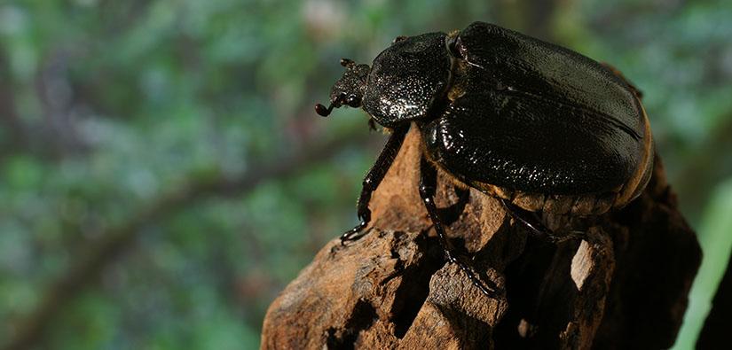 Kiiltävän musta pullea kovakuoriainen.