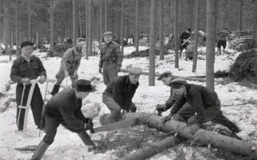 Miehet katkaisevat kuusen runkoa justeerilla sota-ajan mottitalkoissa.