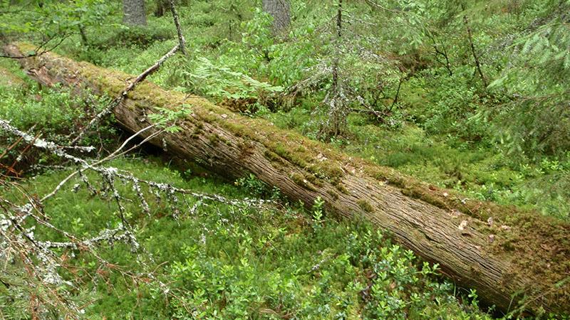 Pitkälle lahonnut maapuu, joka on sammalten peitossa.