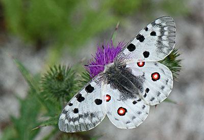 Suuri valkoinen perhonen, jolla on molemmissa takasiivissä kaksi punaista täplää.