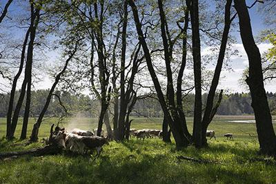 Avoin rantaniitty, jossa kasvaa myös kookkaita lehtipuita. Useita lehmiä on puiden alla ja kauempana niityllä.