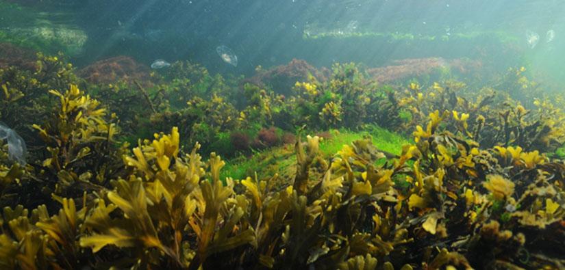 Veden alla otettu valokuva, jossa näkyy monimuotoinen leväyhteisö ja meduusoja.
