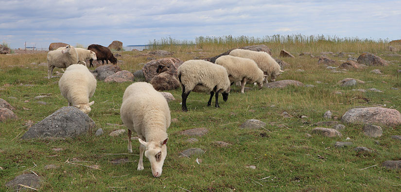 Kahdeksan lammasta laiduntaa kivikkoisella rantaniityllä.